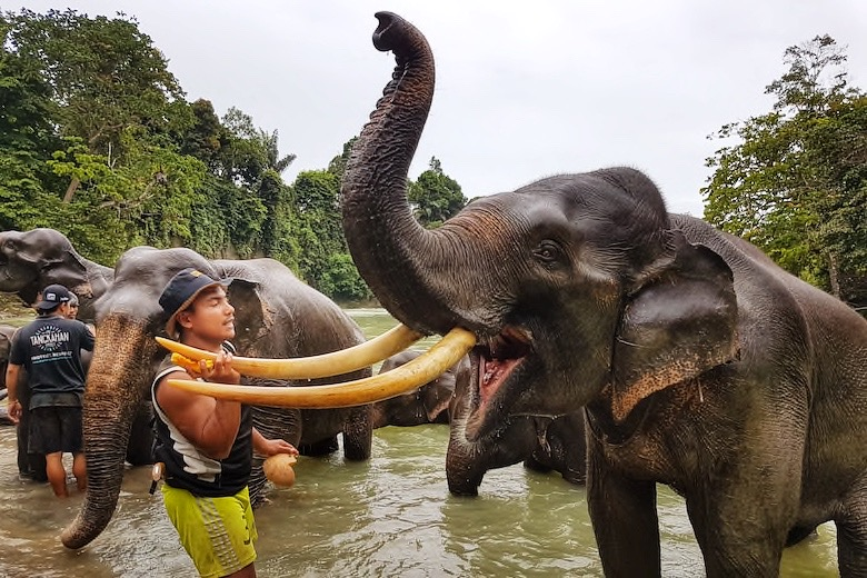 asian elephant with mahout at tangkahan elephant sanctuary in south east asia